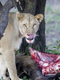 Lioness (Panthera Leo) Licking on a Wildebeest Kill, Tanzania Photographic Print