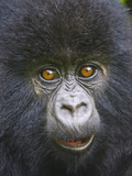 Close-Up of a Mountain Gorilla Baby (Gorilla Beringei Beringei), Rwanda Lámina fotográfica
