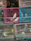 Birds in Cages for Sale at a Bird Market, Yuen Po Street Bird Garden, Mong Kok, Kowloon, Hong Kong Lámina fotográfica