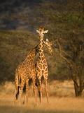 Two Reticulated Giraffes (Giraffa Camelopardalis Reticulata), Kenya Fotografisk tryk