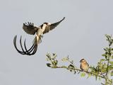Pin-Tailed Whydah (Vidua Macroura) Landing, Tanzania Photographic Print
