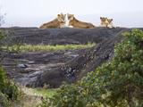 Pride of Lions (Panthera Leo) on Rock Kopje, Tanzania Photographic Print
