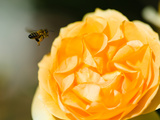 Bee Hovering over a Yellow Rose, Beverly Hills, Los Angeles County, California, USA Photographic Print