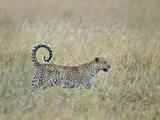 Leopard (Panthera Pardus) in Grass, Tanzania Lámina fotográfica