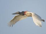 Jabiru Stork (Jabiru Mycteria) in Flight, Brazil Lámina fotográfica