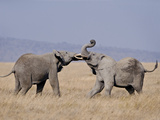 Two African Elephants (Loxodonta Africana) Fighting in a Field, Tanzania Lámina fotográfica