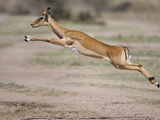 Impala (Aepyceros Melampus) Leaping in a Field, Tanzania Photographic Print