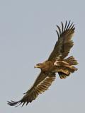 Steppe Eagle (Aquila Nipalensis) in Flight, Tanzania Lámina fotográfica