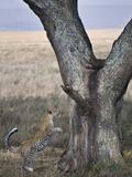 Leopard (Panthera Pardus) Jumping Up into a Tree, Tanzania Lámina fotográfica