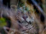 Jaguar (Panthera Onca) Behind Leaves, Brazil Lámina fotográfica