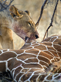 Lioness (Panthera Leo) Hunting a Giraffe (Giraffa Camelopardalis), Kenya Photographic Print