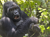 Mountain Gorilla (Gorilla Beringei Beringei) in Forest, Rwanda Photographic Print