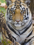 Bengal Tiger (Panthera Tigris Tigris) in a Forest, India Photographic Print