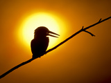 Silhouette of Amazon Kingfisher (Chloroceryle Amazona) in Sunset, Brazil Lámina fotográfica