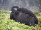 Mountain Gorilla (Gorilla Beringei Beringei) Relaxing in a Forest, Rwanda Photographic Print