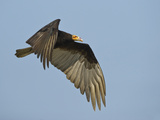 Lesser Yellow-Headed Vulture (Cathartes Burrovianus) Flying in the Sky, Brazil Lámina fotográfica