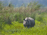 Great Indian Rhinoceros (Rhinoceros Unicornis) in a Field, India Lámina fotográfica