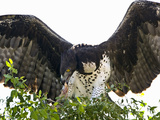 Martial Eagle (Polemaetus Bellicosus) with a Kill, Kenya Photographic Print