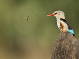Close-Up of a Grey-Headed Kingfisher (Halcyon Leucocephala) and a Bee, Kenya Photographic Print
