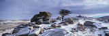 Windswept Tree in Snow Covered Field, Dartmoor, Devon, England Photographic Print by  Panoramic Images