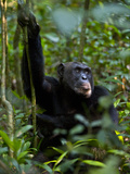 Chimpanzee (Pan Troglodytes) in a Forest, Kibale National Park, Uganda Photographic Print by Green Light Collection