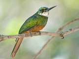 Rufous-Tailed Jacamar (Galbula Ruficauda) Perching on a Twig, Brazil Photographic Print