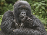 Mountain Gorilla (Gorilla Beringei Beringei) with its Young, Rwanda Photographic Print