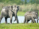 Asian Elephants (Elephas Maximus) at the Riverside, India Lámina fotográfica
