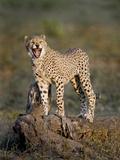 Cheetah (Acinonyx Jubatus) Cub Yawning on a Log, Tanzania Lámina fotográfica