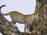 Leopard (Panthera Pardus) in Fork of a Tree, Tanzania Lámina fotográfica