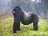 Mountain Gorilla (Gorilla Beringei Beringei) Silverback, Rwanda Photographic Print