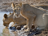 Lions (Panthera Leo) Drinking Water at a River, Kenya Photographic Print