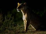 Lioness (Panthera Leo) at Sunrise, Tanzania Photographic Print