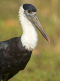 Close-Up of a Woolly-Necked Stork (Ciconia Episcopus) Bird, India Photographic Print