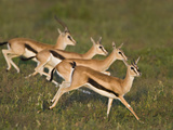 Thomson's Gazelle (Eudorcas Thomsonii) Running on the Grass, Tanzania Lmina fotogrfica