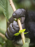 Close-Up of a Mountain Gorilla (Gorilla Beringei Beringei) Hand Holding a Plant, Rwanda Photographic Print