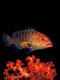 Leopard Grouper (Plectopomus Pessuliferus Marisrubri) Swimming Underwater Photographic Print