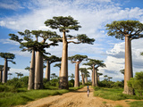 Baobab Trees (Adansonia Digitata) Along a Dirt Road, Avenue of the Baobabs, Morondava, Madagascar Photographic Print