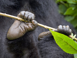 Close-Up of a Mountain Gorilla (Gorilla Beringei Beringei) Holding a Branch, Rwanda Photographic Print