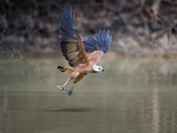 Black-Collared Hawk (Busarellus Nigricollis) Fishing, Brazil Lámina fotográfica