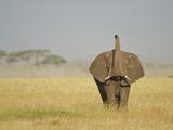African Elephant (Loxodonta Africana) Standing in a Forest, Tanzania Lámina fotográfica
