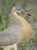 Close-Up of Whistling Heron (Syrigma Sibilatrix), Brazil Lámina fotográfica