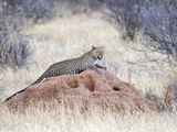 Leopard (Panthera Pardus) Sitting on a Termite Mound, Kenya Photographic Print