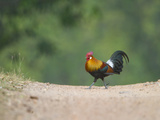 Jungle Fowl in a Forest, India Lámina fotográfica