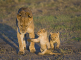 Lioness (Panthera Leo) with Two Cubs, Tanzania Lámina fotográfica