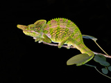 Close-Up of a Labord's Chameleon (Furcifer Labordi), Madagascar Photographic Print