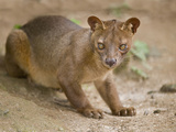 Close-Up of a Fossa (Cryptoprocta Ferox), Madagascar Photographic Print