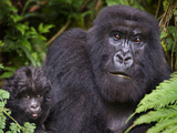 Close-Up of a Mountain Gorilla (Gorilla Beringei Beringei) with its Young One, Rwanda Photographic Print