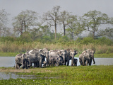 Asian Elephants (Elephas Maximus) at the Riverside, India Photographic Print