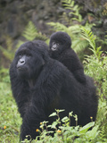 Mountain Gorilla (Gorilla Beringei Beringei) Walking with its Young One, Rwanda Lámina fotográfica